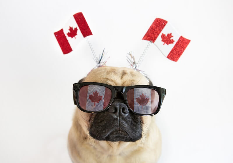 Dog with Candian flag glasses